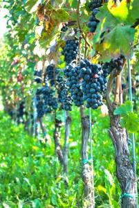Barbera Vines