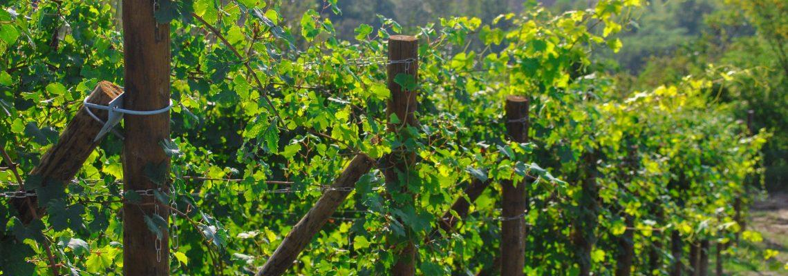 Nebbiolo Vines